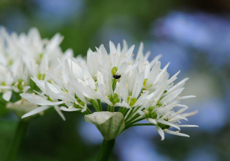 Allium ursinum, Bärlauch © GartenAkademie.com