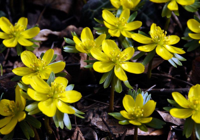Eranthis hyemalis, Winterling © GartenAkademie.com
