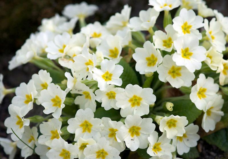 Primula vulgaris, Kissenprimel © Gartenakademie.com