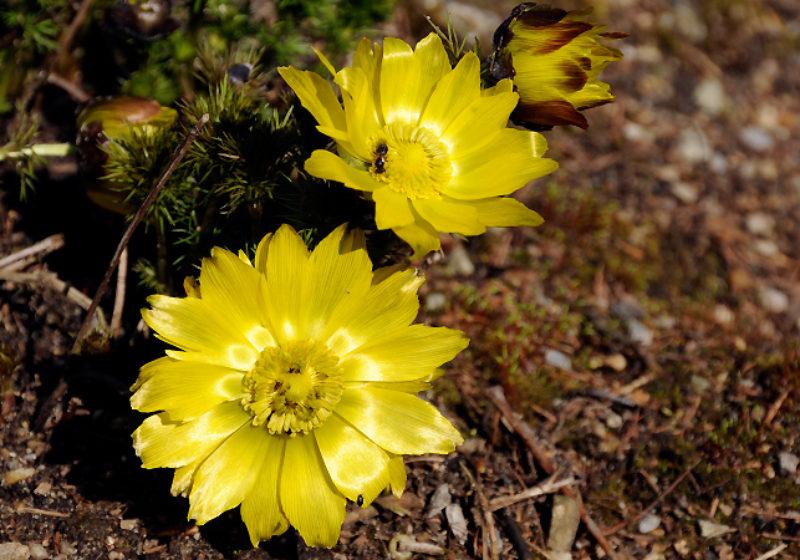 Adonis vernalis, Adonisröschen © Gartenakademie.com