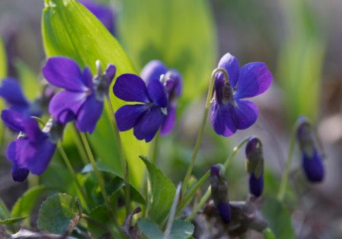 Viola sp. –Veilchen ©Gartenakademie.com