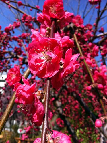 Prunus persica 'Crimson Cascade', Kaskaden-Pfirsich © GartenAkademie.com