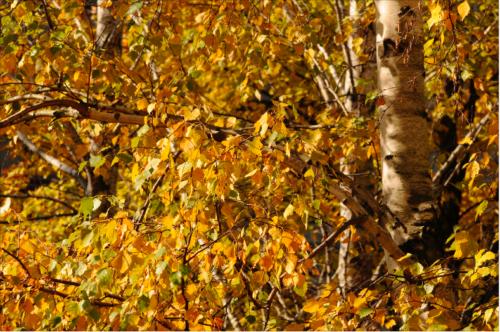 Birke (Betula pendula) © GartenAkademie.com