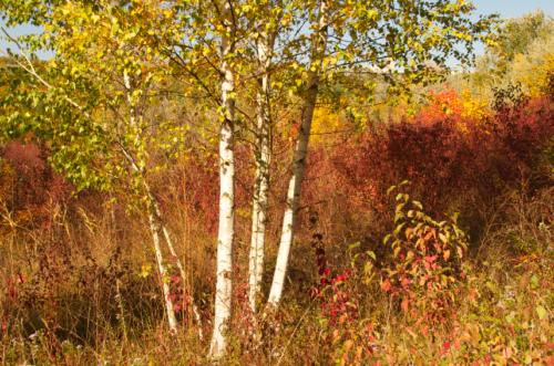 Birke (Betula pendula) ©GartenAkademie.com
