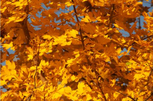 Feldahorn (Acer campestre) ©GartenAkademie.com