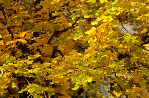 Winterlinde (Tilia cordata) © GartenAkademie.com