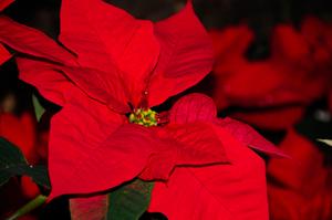 """12. Dezember: """"Poinsettia Day"""""""