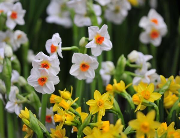 Narcissus 'Tête à Tête' vorne, im Hintergrund kleinkronige Narzissen ©GartenAkademie.com