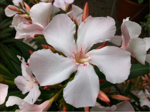 Oleander pflegen und schneiden