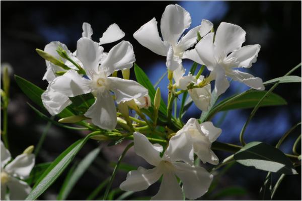 Nerium_oleander4©GartenAkademie.com