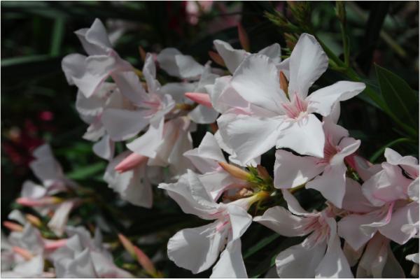 Nerium_oleander5©GartenAkademie.com