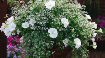 Kombination mit weißer Petunie ©Provenwinners.com