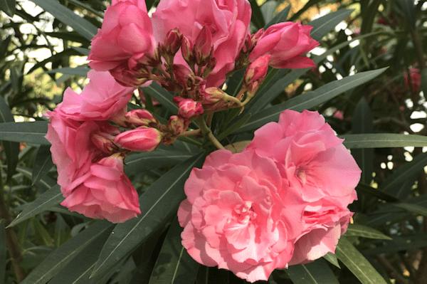 Nerium-oleander_©GartenAkademieCOM