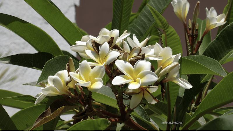 Plumeria alba © meister.photos