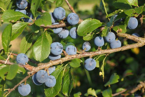 Prunus spinosa ©Hans/Pixabay