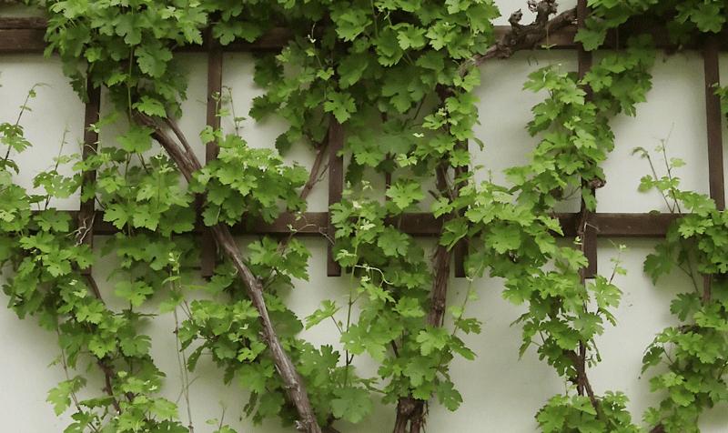 Spaliere –ein Obstgarten bei Platzmangel