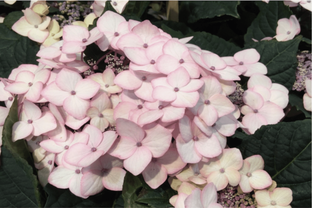 Hydrangea ©meister.pictures
