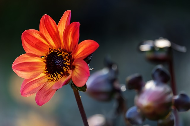 Dahlien –ein spätsommerliches Blütenfeuerwerk
