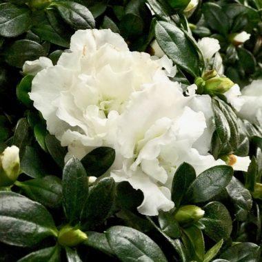 Rhododendron-Simsii-Cultivars ©GartenAkademie.com