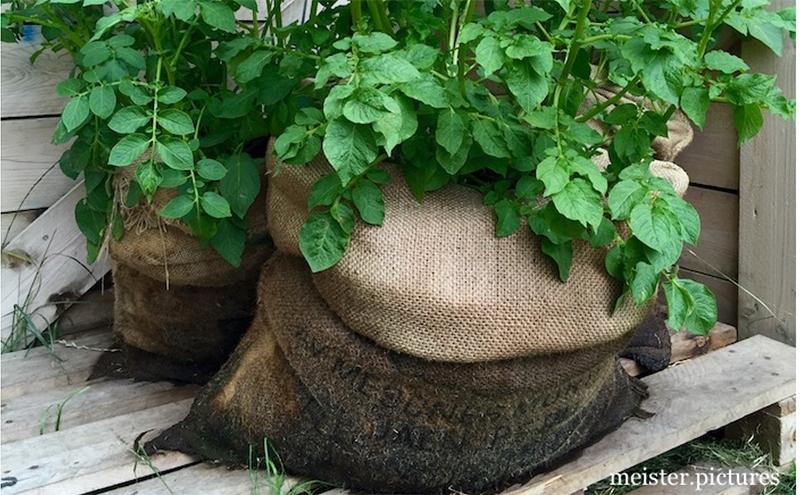 So wachsen Kartoffeln im Kartoffelsack