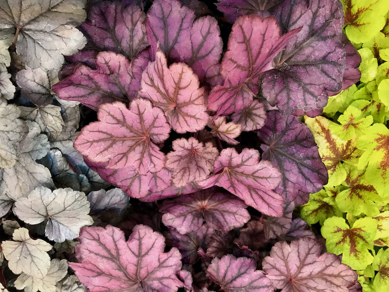 Purpurglöckchen –klimafitter Farbenkünstler