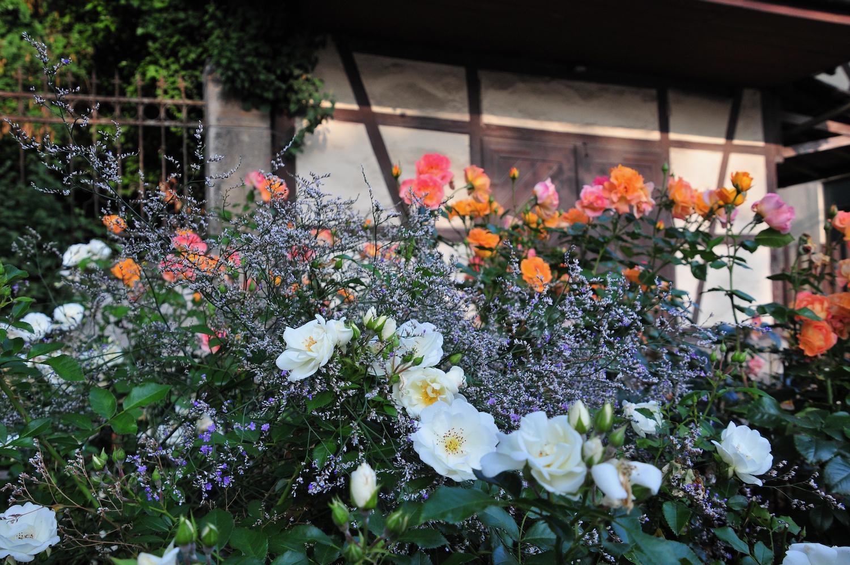Willkommen im Rosenmonat Juni